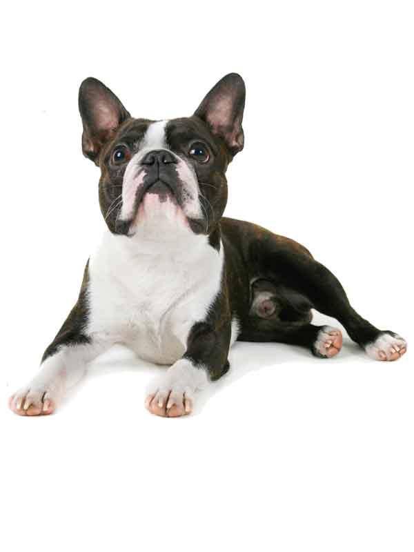 mbarq_dog_pug_600x800